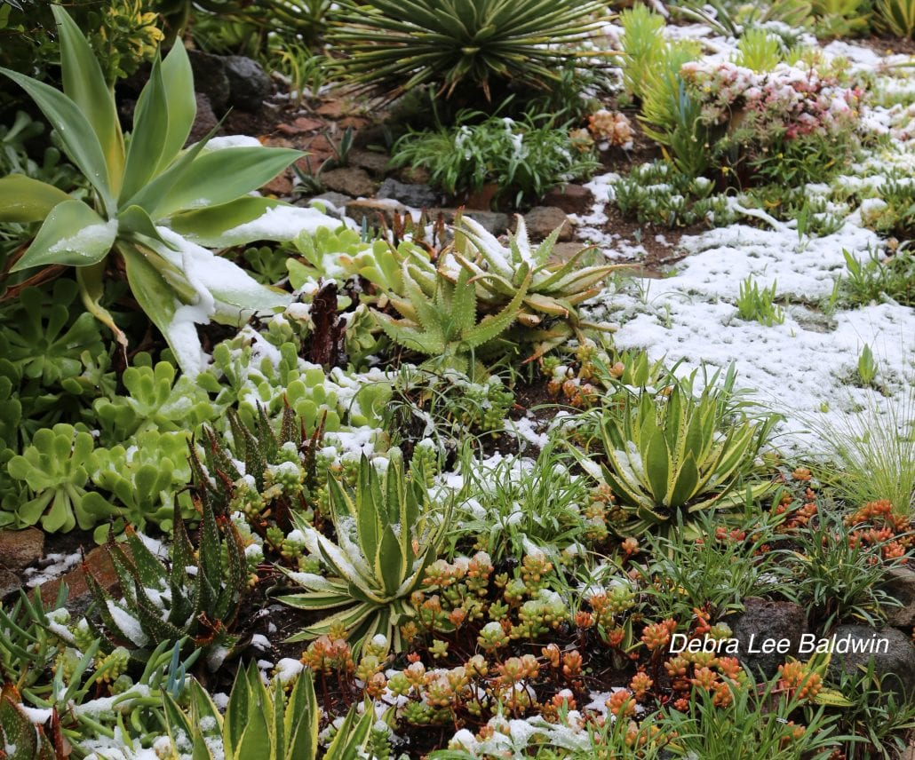 Cold weather care for outdoor succulents