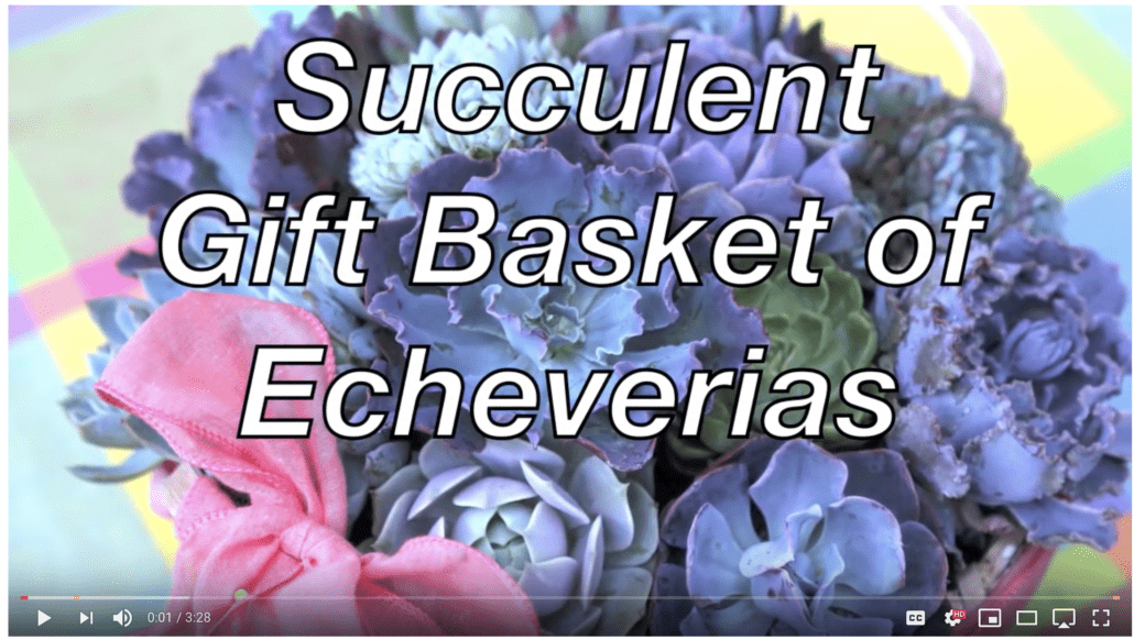 Video about gift basket of echeverias