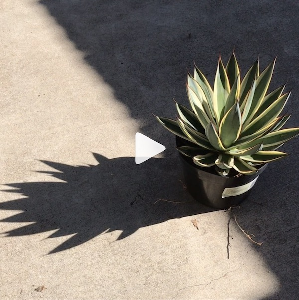 Agave 'Snow Glow'