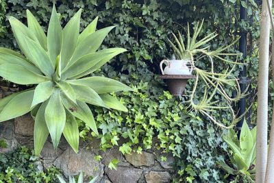 Agave attenuata, walking sansevieria
