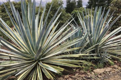 Agave tequilana (c) Agaves by Jeremy Spath & Jeff Moore