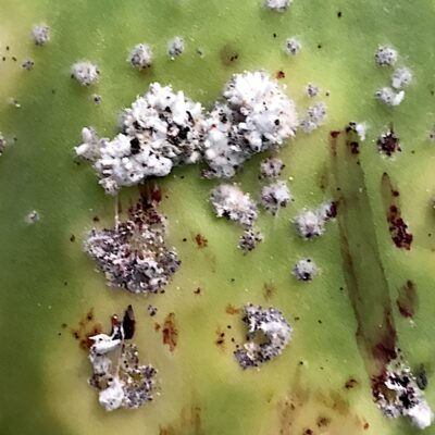 Cochineal scale on Opuntia (paddle cactus)